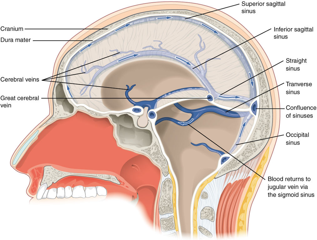 Venous Drainage Of The Brain Human Physiology
