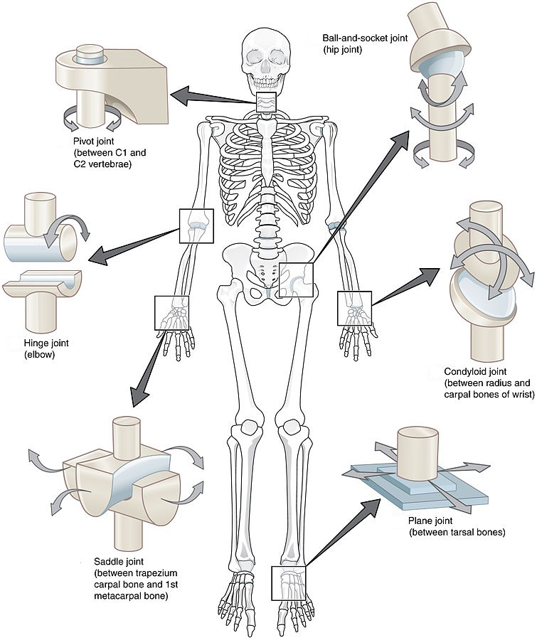Types of Synovial Joints – Human Physiology